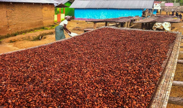 worker cocoa beans sun drying