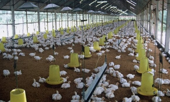university based poultry farming
