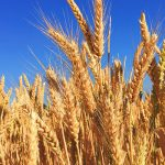 wheat business in Africa