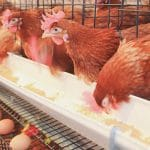 raising chicken for egg production