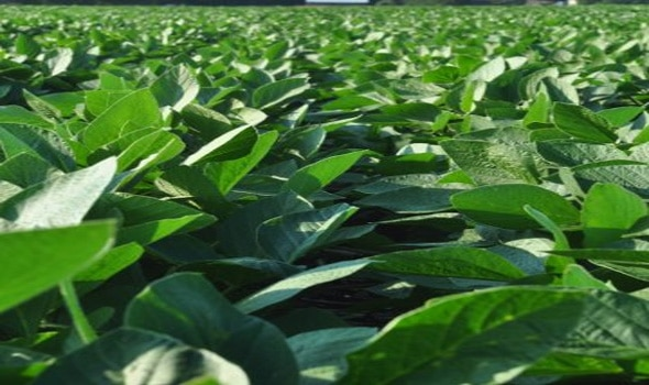soybeans farming in USA